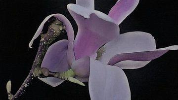 Magnolienblüte auf Zweig - gemalt - schwarzer Hintergrund von Schildersatelier van der Ven