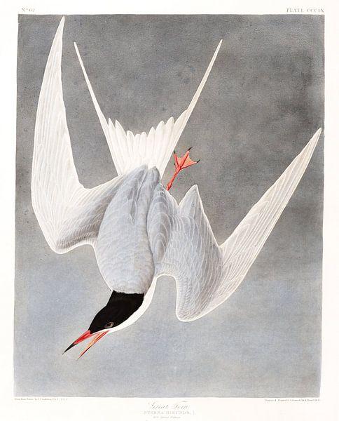 Fluss-Seeschwalbe von Birds of America