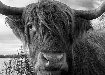 Nahaufnahme Schottischer Highlander von Peter Bartelings Photography