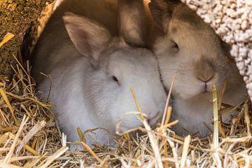Zwei Kaninchen van Jürgen Döring
