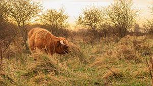 Schotse Hooglander in Lentevreugd van Diederik van Duijn
