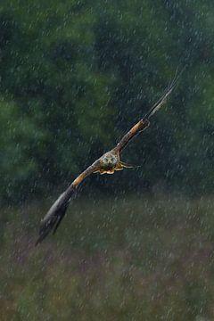 Rotmilan im Flug bei einem Regensturm von Jeroen Stel