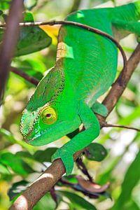 Groene kameleon van