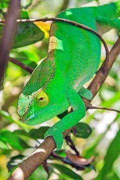 Groene kameleon von Dennis van de Water