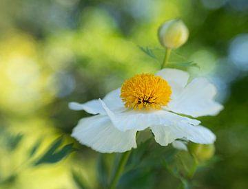 anemone in the field von Ester Besuijen