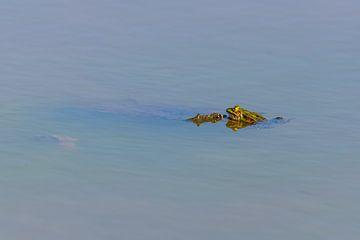 In een meer zwemt een kikker rustig met zijn kop uit het water van Matthias Korn