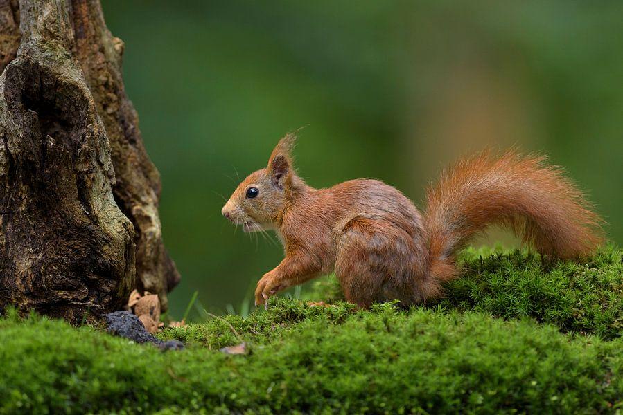 Rode eekhoorn in bos