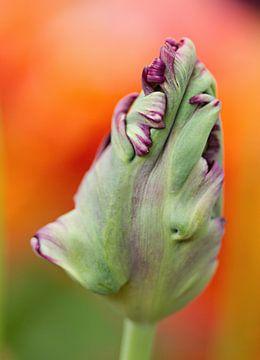 paarse tulp in de knop op oranje achtergrond von Sandra Keereweer