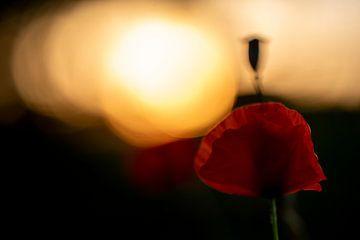 Blüte im letzten Sonnenlicht von Peter Felberbauer