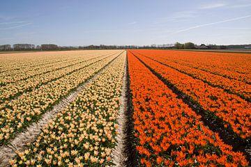 Prachtige hollandse tulpen in het voorjaar van Maurice de vries