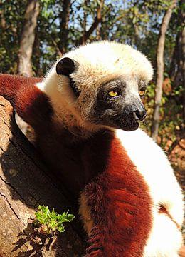 Lemur aus Madagaskar van Katharina Wieland Müller