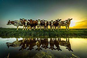 Nieuwsgierige koeien gespiegeld in het water avond zon van