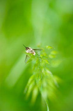 Bombyliidae of wolzwever op een grasstengel in de zomer. Macro. van John Quendag
