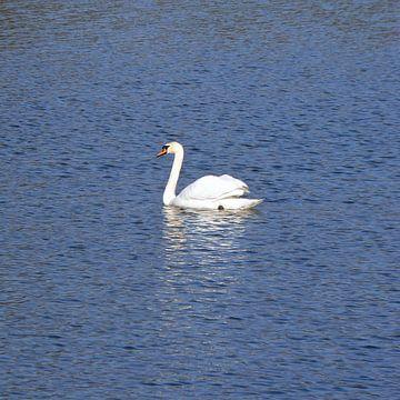 The white Swan van Ralf Schroeer
