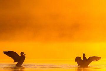 Paar krakeenden in mist vleugels uitslaand. van Menno van Duijn