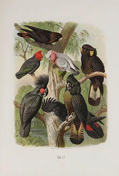 Zwarte kaketoes, Anton Reichenow van Teylers Museum