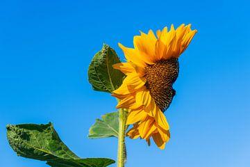 Eine Sonnenblume, die aussieht wie ein Gesicht mit einem blauen Hintergrund von Matthias Korn