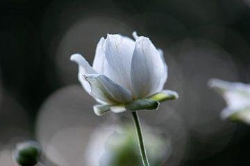 fleur d'automne blanche sur Tania Perneel