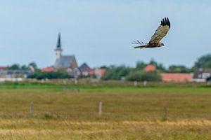 Texel - Buse en vol le long de Den Hoorn 01