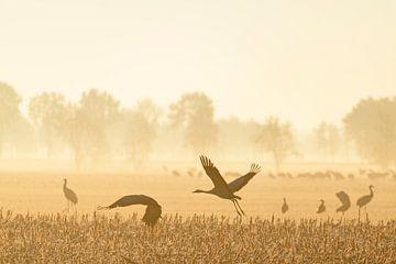 Kraniche, die im weichen Morgenlicht davonfliegen von Sjoerd van der Wal
