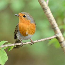 Robin ( Erithacus rubecula ) au printemps, assis dans l'arbre, l'air guilleret, la faune, l'Europe. sur wunderbare Erde