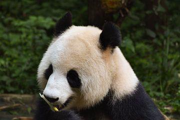 Etende panda van Kenji Elzerman