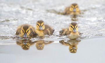 Vier jonge eendjes zwemmend op het water, Zuid-Holland, Nederland van Nature in Stock