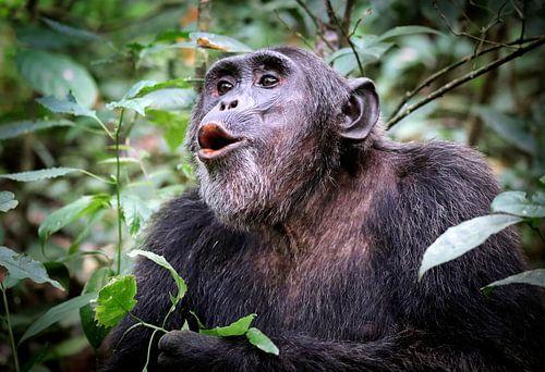 Schimpanse in Uganda, Kibale Forst, wildlife von W. Woyke