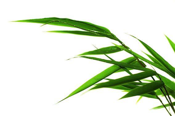 bamboo van Falko Follert