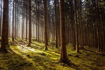 boslicht van Menno Janzen