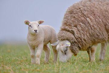 Lamm mit Mutter. von Francis Dost