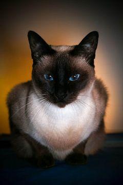 siamese kat von Rubin Versigny