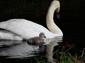 Zwaan met jong, spiegeling