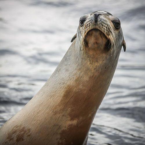 Nieuwsgierige zeeleeuw