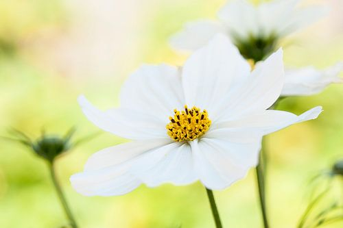Frisse, witte bloemende gele stamper in een bloemenveld