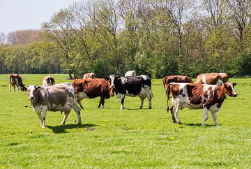 weiland met koeien von Compuinfoto .