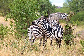 Zebras doppelt gestreift von Roger Hagelstein