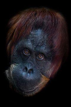 Slimme gezicht orang-oetang van dichtbij. Flegmatische licht ironische ogen kijken. Geïsoleerd op zw van Michael Semenov