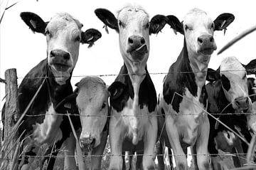 Neugierige Kühe in schwarz-weiß von Ans Bastiaanssen