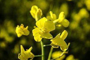 geel 1