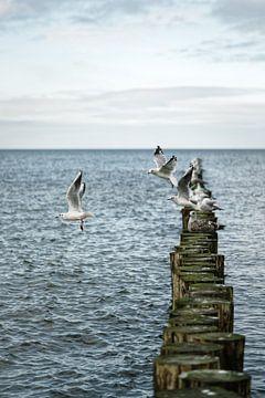 Meeuwen starten vanuit een rij van kribben... van Ralf Lehmann