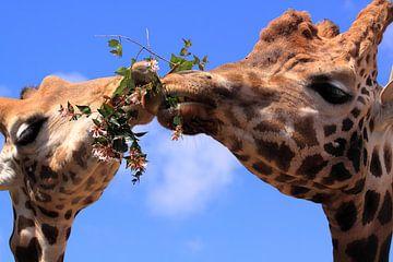 Grappige giraffen eten samen van Bobsphotography