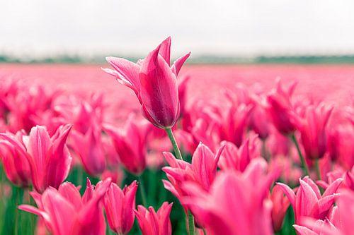 Tulpenveld van marco de Jonge
