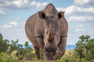 Portret van een neushoorn, kikkerperspectief. sur