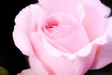 rosa Rose Andre le Notre von C. Nass