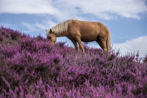 Bloeiende heide met paard