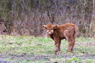 Neulich geboren Scottish Highlander braun Stier Kalb steht auf der Weide von Ben Schonewille