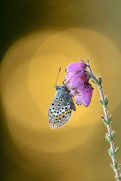 Vlinder Heideblauwtje op een heidebloempje van Petra Kester