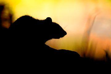 Rat... van Arno van Zon