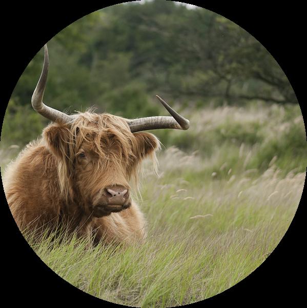 Schotse Hooglander in het duingras van Sander Jacobs